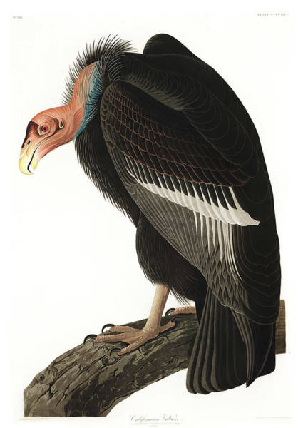 Wall Art - Painting - Californian Vulture by John James Audubon