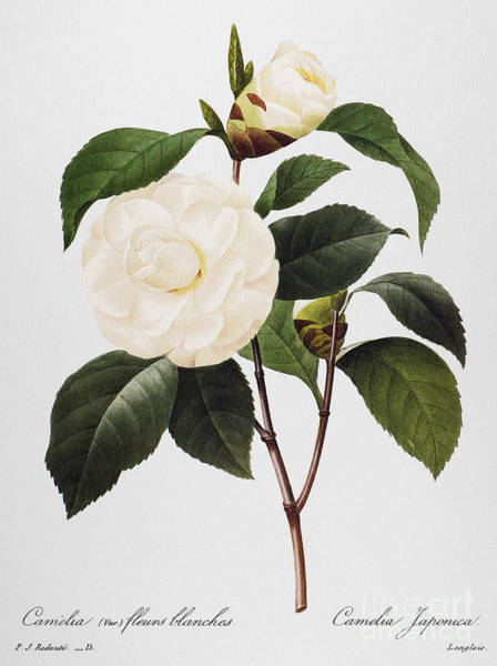 Wall Art - Photograph - Camellia, 1833 by Granger