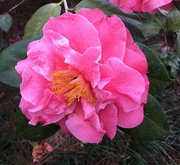 Wall Art - Photograph - Camellia by Lessandra Grimley