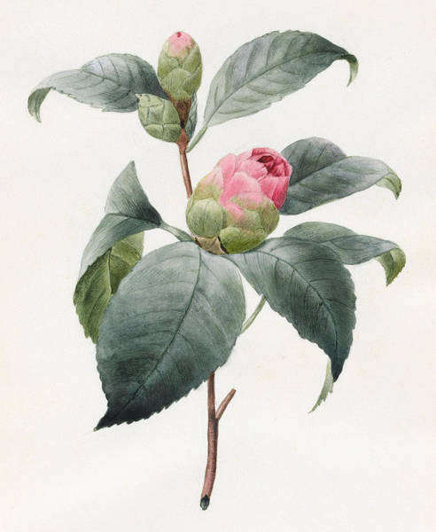 Pink Drawing - Camellia by Louise D'Orleans