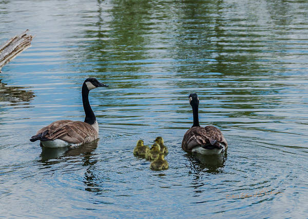 Photograph - Canada Geese Family Swim by Edward Peterson