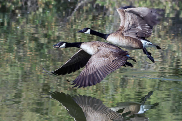 Photograph - Canada Geese by Tam Ryan