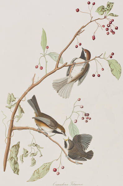 Tits Painting - Canadian Titmouse by John James Audubon