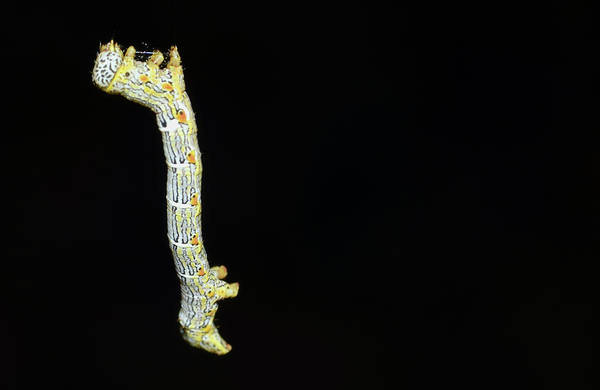 Photograph - Cankerworm by Larah McElroy