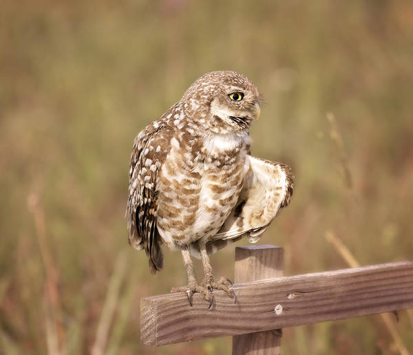 Photograph - Cape Coral Burrowing Owl by Kim Hojnacki