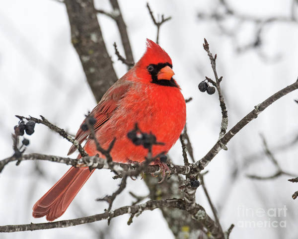 Photograph - Cardinal Red by Nina Stavlund