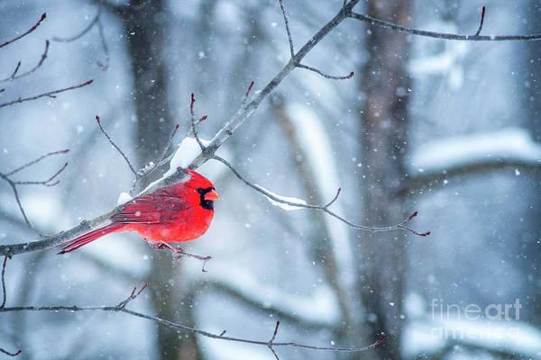 Wall Art - Photograph - Cardinal Winter by Todd Bielby