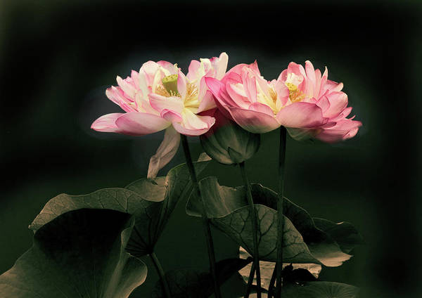 Pink Lotus Flower Photograph - Caressed by Jessica Jenney