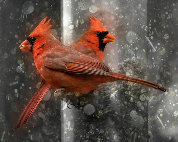 Flake Photograph - Cary Carolina Cardinals  by Betsy Knapp