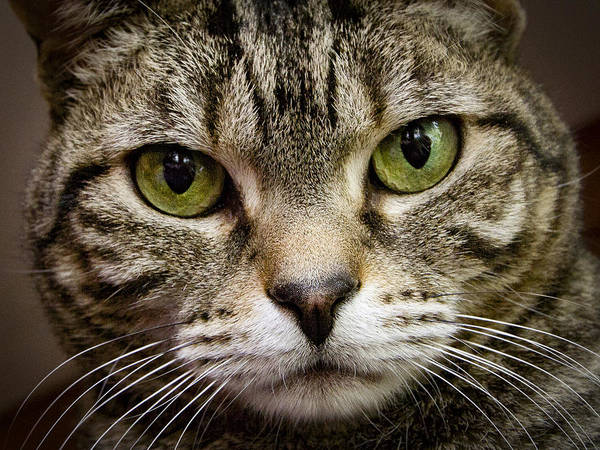 Photograph - Cat Face by Jean Noren