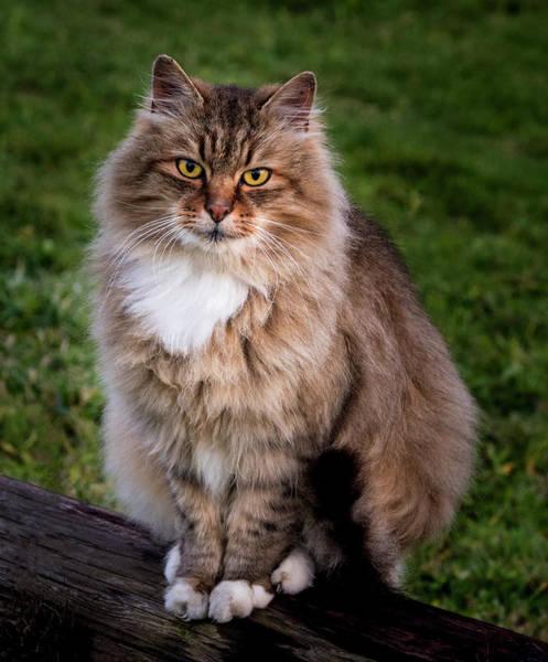 Photograph - Cat Portrait by Jean Noren
