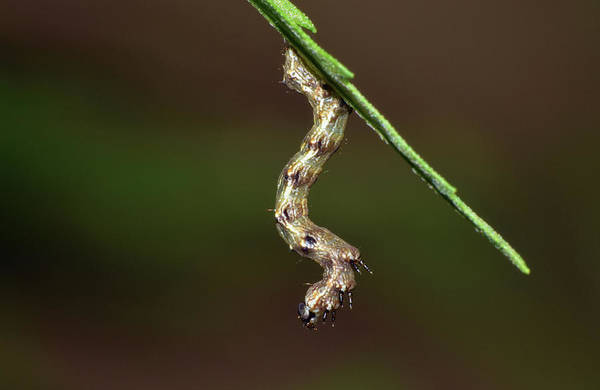Photograph - Caterpillar by Larah McElroy
