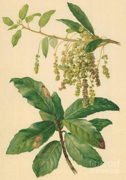 Catkins And Leaves Of Holm Oak Art Print