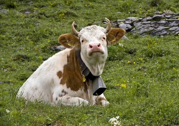 Wall Art - Photograph - Cattle, Switzerland by Bob Gibbons