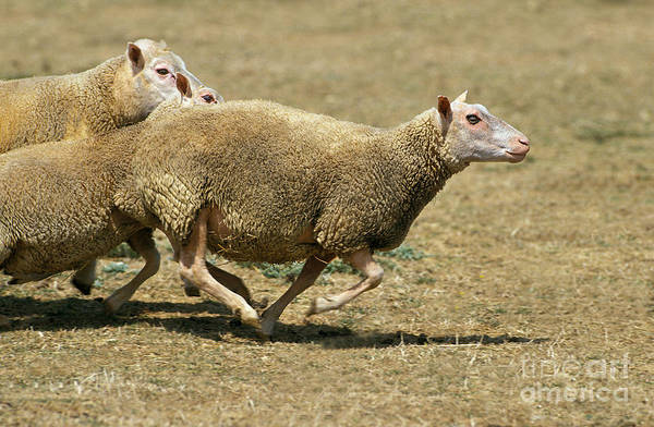 Ovine Photograph - Charmois Sheep by Gerard Lacz