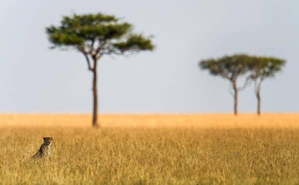 Carnivora Photograph - Cheetah Acinonyx Jubatus In A Field by Panoramic Images