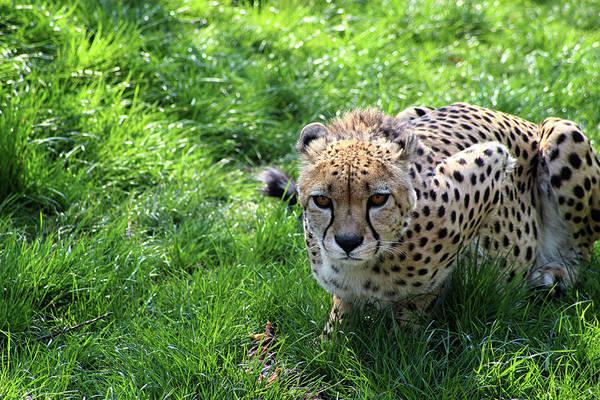 Cheetah Photograph - Cheetah Eyes by Martin Newman