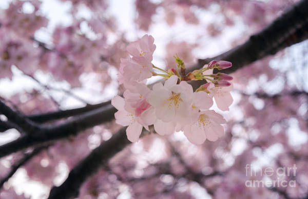 Photograph - Cherry Blossom by Rima Biswas