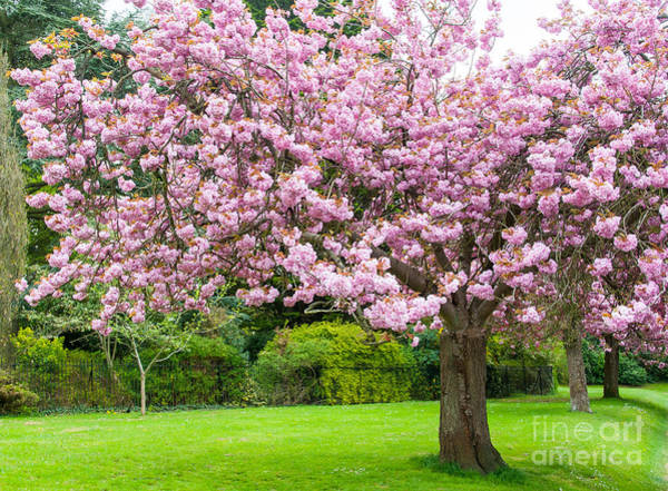 Photograph - Cherry Blossom Tree by Colin Rayner
