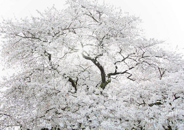 Wall Art - Photograph - Cherry Blossoms by Peter Simmons