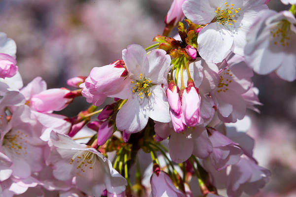 Photograph - Cherry Blossoms by SR Green