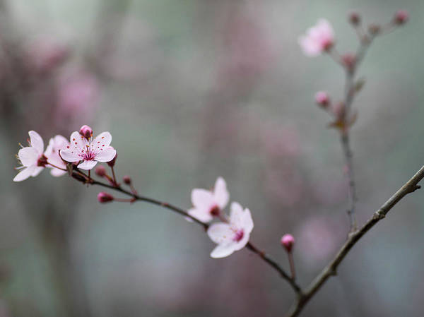 Wall Art - Photograph - Cherry Spring by Rebecca Cozart