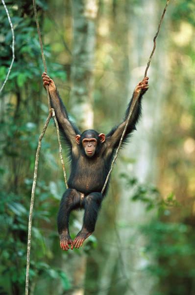 Equatorial Africa Wall Art - Photograph - Chimpanzee Pan Troglodytes Juvenile by Cyril Ruoso