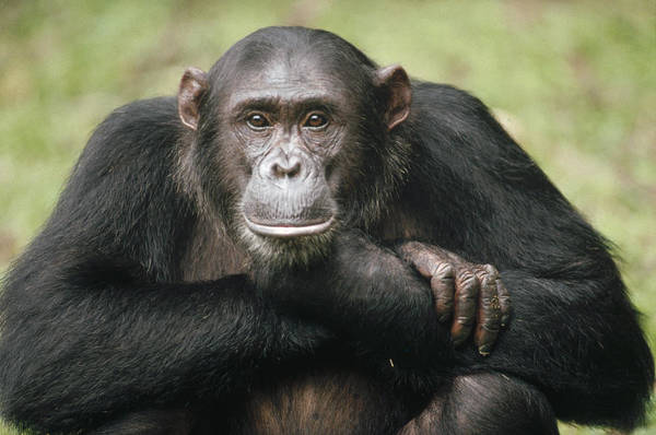 Gombe National Park Wall Art - Photograph - Chimpanzee Pan Troglodytes Portrait by Gerry Ellis
