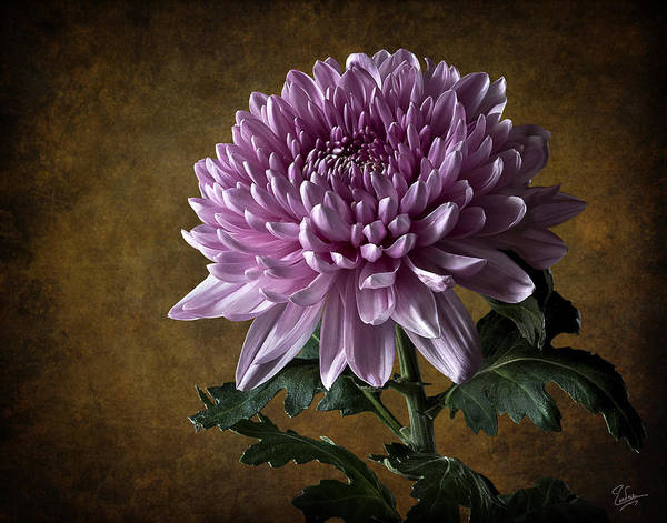 Photograph - China Chrysanthemum by Endre Balogh