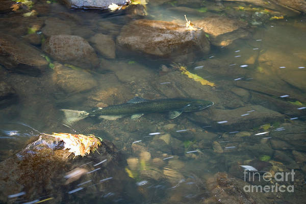 Chinook Salmon Photograph - Chinook Salmon by Ted Kinsman