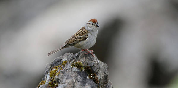 Wall Art - Photograph - Chipping Sparrow by Whispering Peaks Photography