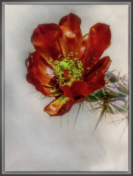 Photograph - Cholla Cactus by Elaine Malott