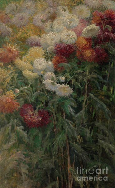 Wall Art - Painting - Chrysanthemums In The Garden At Petit-gennevilliers by Gustave Caillebotte