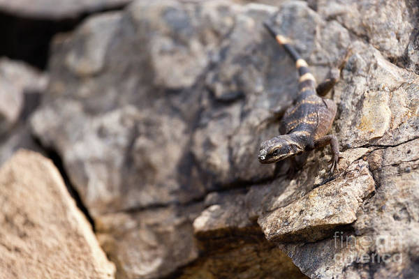 Chuckwalla Photograph - Chuckwalla On Rock by Mike Cavaroc