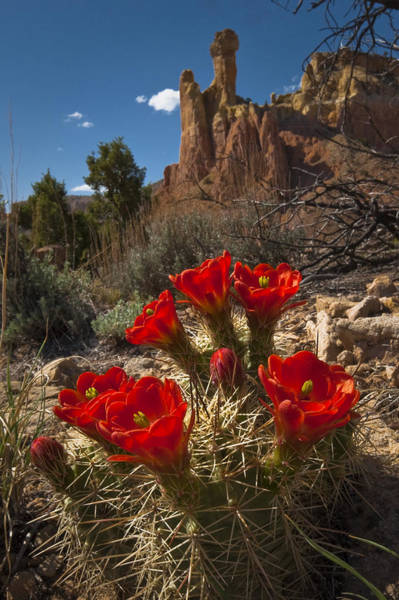 Photograph - Claret Cup Cactus At Ghost Ranch by Lou  Novick