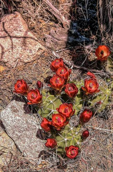 Photograph - Claret Cup Cactus by NaturesPix