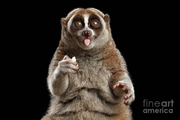Wall Art - Photograph - Close-up Lemur Slow Loris Isolated Black Background by Sergey Taran