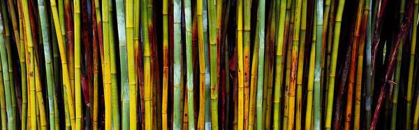 Gainesville Photograph - Close-up Of Bamboos, Kanapaha Botanical by Panoramic Images