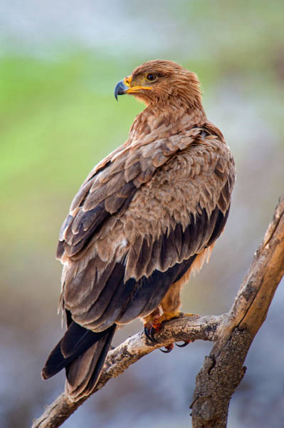 Wall Art - Photograph - Close-up Of Tawny Eagle Aquila Rapax by Panoramic Images