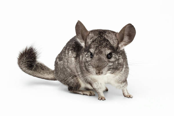Wall Art - Photograph - Closeup Chinchilla In Profile View On White by Sergey Taran