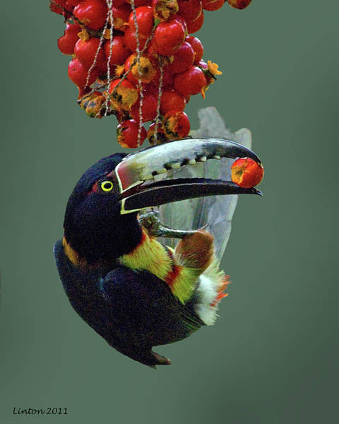 Photograph - Collared Aracari 2 by Larry Linton