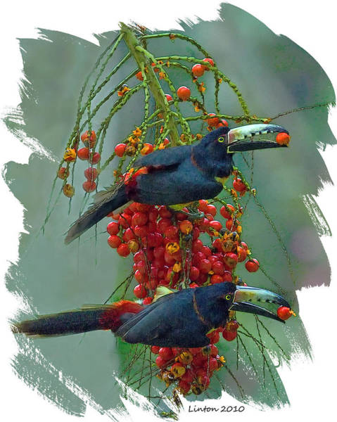 Belize Digital Art - Collared Aracari Pair by Larry Linton