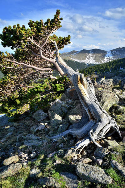 Photograph - Colorado Bristlecone Pine by Ray Mathis