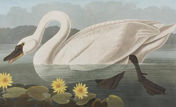 Cygnet Wall Art - Painting - Common American Swan by John James Audubon