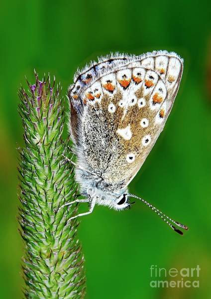Photograph - Common Blue Butterfly by Martyn Arnold