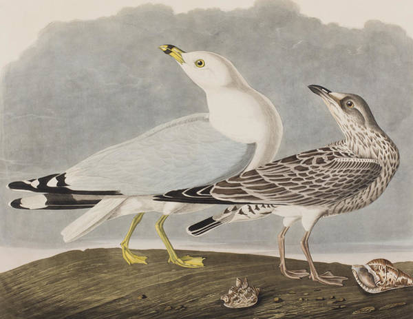 Gull Painting - Common Gull by John James Audubon