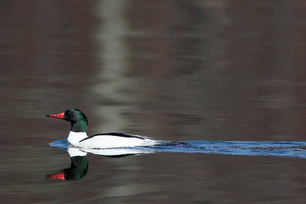 Photograph - Common Merganser Drake by Bill Wakeley