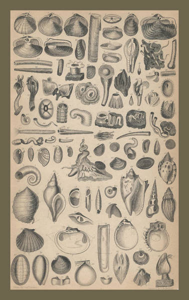 Wall Art - Drawing - Conchology by Dreyer Wildlife Print Collections