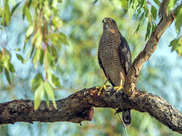 Photograph - Cooper's Hawk by Tam Ryan