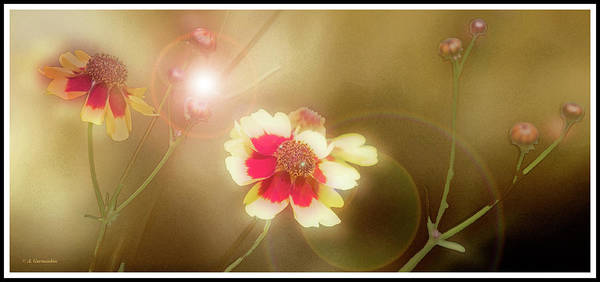 Coreopsis Flowers And Buds Art Print